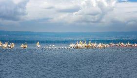 Massen von Vögeln und von Flamingos des weißen Pelikans auf dem See Nakuru, Lizenzfreies Stockfoto