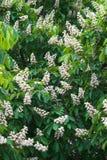 Massenblühen der Kastanie Stockfotos