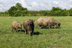 Masses Buffalo And The tilted in Grass Royalty Free Stock Image