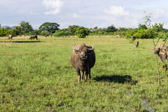Masses Buffalo And The tilted in Grass Stock Image