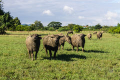 Masses Buffalo And The tilted in Grass Royalty Free Stock Images