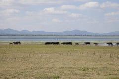 Masses of buffalo walking on the lake shore Royalty Free Stock Photography