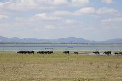 Masses of buffalo walking on the lake shore Stock Photos