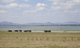 Masses of buffalo walking on the lake shore Stock Photography