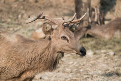 Masses of deer Royalty Free Stock Photos