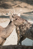 Masses of deer Royalty Free Stock Photography