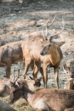 Masses of deer Stock Photography