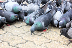 Masses doves eat food bird seed Royalty Free Stock Photos