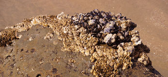 Masses of mussels on the beach Royalty Free Stock Photo