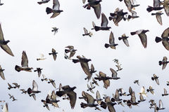 Masses Pigeons birds flying in the blue sky Stock Photos