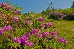 Masses of Rhododendron cover a wooden fence. Stock Photos