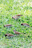 Masses of Scaly-breasted Munia Finding Food On Green Grass Stock Image