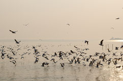 Masses seagull emigrate to THAILAND. Once a year royalty free stock images