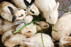 Masses soiled rabbit Royalty Free Stock Image