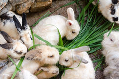 Masses soiled rabbit Stock Photos