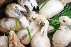 Masses soiled rabbit Royalty Free Stock Photo