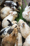 Masses soiled rabbit in farm Royalty Free Stock Photo