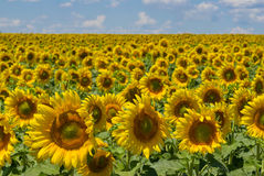 Masses of sunflowers Royalty Free Stock Photography
