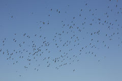 Masses of tree swallows fill the sky in Georgia. Stock Photography