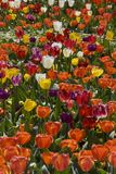 Masses of tulips Royalty Free Stock Image