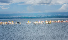 Masses of White Pelican birds and flamingos on the lake Nakuru, Royalty Free Stock Images