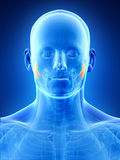 The masseter deep Royalty Free Stock Photography