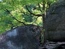 Massi di pietra enormi invasi con muschio vicino ad una latifoglia alta Fotografie Stock Libere da Diritti