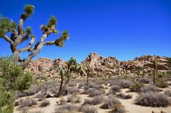 Massi e Joshua Tree in Joshua Tree National Park immagine stock