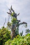 Massieve overwoekerde heilige dode boom op het eiland Bubaque, Bijagos-archipel, Guinea-Bissau, West-Afrika royalty-vrije stock foto