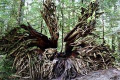 Massieve wortels van dode boom die met boom bepaalt die ot van boomstam groeit stock afbeeldingen