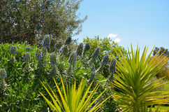 Massif beautiful blue flowers clustered with palm yucca leaves Royalty Free Stock Photography