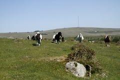 Massif de roche de Hessary avec des poneys de Dartmoor Images stock
