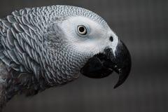 Massimo il nostro pappagallo dell'animale domestico Fotografie Stock