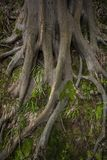 Massiv-Baumwurzeln in botanischem Garten Batumis lizenzfreie stockfotografie
