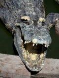 Massiv saltvattens- krokodil Arkivbild