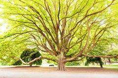 Massiv tree i en park Arkivbilder