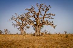 Massiva baobabträd Arkivfoton