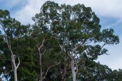Massiva djungelträd Royaltyfri Fotografi