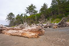 Massiva journaler och Windblown träd på kusten fotografering för bildbyråer