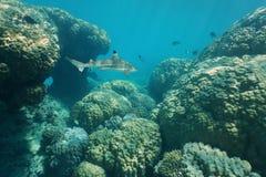 Massiva steniga koraller som är undervattens- med en haj Fotografering för Bildbyråer