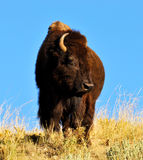 Massive American Bison standing at watch. Stock Photography