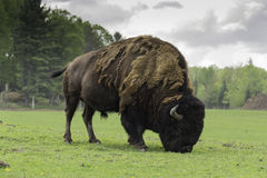 A massive American Buffalo. Grazing on grass Stock Photography