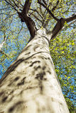 Massive American sycamore tree, vertical composition Royalty Free Stock Photography