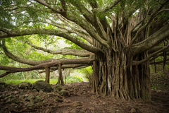 Massive Banyan Tree in Maui. Massive Banyan Tree on the Pipiwai Trail in Haleakala National Park in Maui, Hawaii stock photo