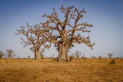 Massive baobab trees. In the dry arid savannah of south west Senegal stock photos