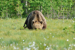 Massive Bear. Peeking through the greenery Stock Photography