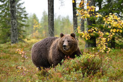 Massive bear in forest Stock Image