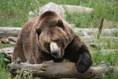 Massive Brown Bear Royalty Free Stock Photography