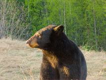 A massive brown bear in the springtime Stock Photo