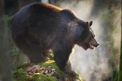 Massive brown bear standing on the rock Stock Images
